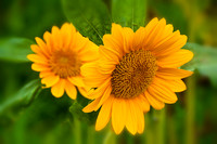 Sunflowers_Aug092012_0915
