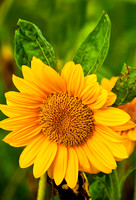 Sunflowers_Aug092012_0877