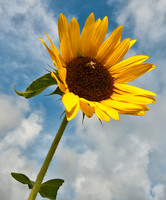 Sunflowers_Aug092012_1004